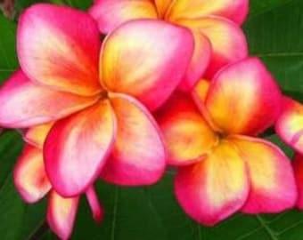 Plumeria Frangipani 'Rei Rainbow' 4 Viable Rare Seeds