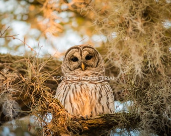 Barred Owl, Owl, Bird, Birds, Birds of Prey, Raptors, Fine Art Prints, Nature Photography, Wildlife Photography, Owl Photography, Photos