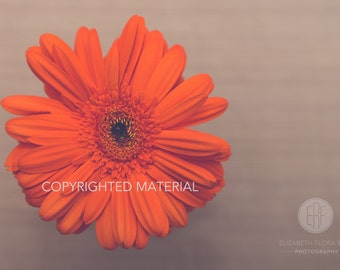 Gerber Daisy, Flower Photography, Flowers, Fine Art Prints, Nature Photography, Photos, Orange