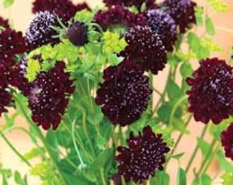 Mourningbride AKA Scabiosa 'Black Knight' Seeds /  Scabiosa atropurpurea / Black Pincushion Flower