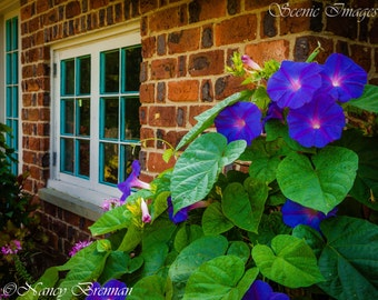 Morning Glories on Brick