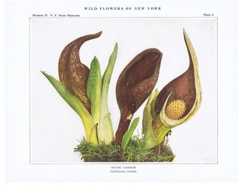 Pretty,picture,plant,pictureVintage.Antique.Genuine.1919.Wild Flower.New York.NYC.Floral.Calla.Art Collection.Classic.Mom.Dad.Botany.lot