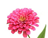 pink floral wall art, flower photo, floral photo, pink zinnia photo, zinnia print, pink white decor, Pink flower photo, pink flower print