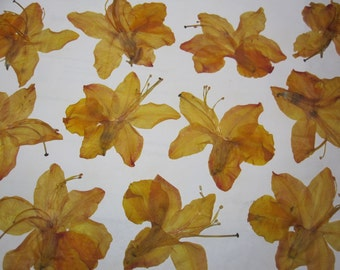Natural Dried Pressed Flowers for Crafting -  Orange Azaleas