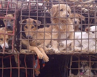 DOG MEAT TRADE ~ Free Gift 4 Donation to End this Barbaric Torture