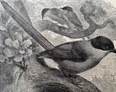 BIRDS Ephemera Lot of early 1900s Book Engravings Illustrations of Birds Mocking Bird Magpie Jays Crow Bird of Paradise