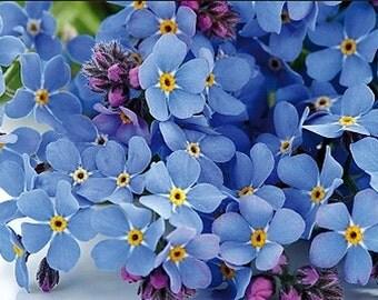 Organic Heirloom Forget-Me-Not Annual or Perennial Wildflower Seeds Myosotis sylvatica
