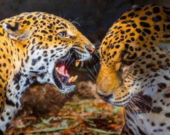 Jaguar Argument-8x10-Color Fine Art Photo-Certificate of Authenticity-Signed by Artist
