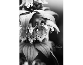 Nature Photo, Floral Wall Decor, Flower Photograph, Fine Art Photography, Spotted Beebalm, Garden Print, Still Life, Grey, Black, White