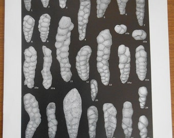 Vintage Fossil print, Cretaceous Foraminifera, Scientific Geological Survey paper, Plate 35