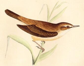 Original Reed Warbler Print . original antique bird plate woodblock . vol III . dated 1853 old vintage
