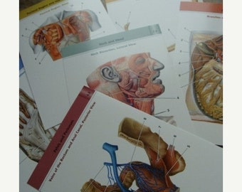 20PercentOff One Dozen Awesome Anatomical Anatomy Flash Cards
