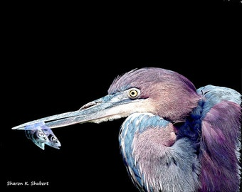 Blue Heron With Fish Art, Bird Portrait, Purple Waterfowl Artwork, Wildlife Wilderness, Wall Hanging, Cabin Home Decor, Giclee Print, 8 x 10