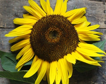 Hopi Dye Sunflower, heirloom organic flower seeds, organic seeds from our farm, heirloom flower garden, organic gardening, gardening