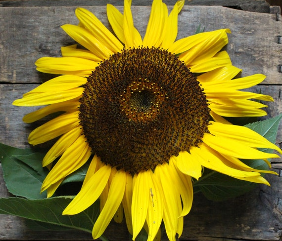 Hopi Dye Sunflower // heirloom organic flower seeds // organic seeds from our farm // heirloom flower garden // organic gardening