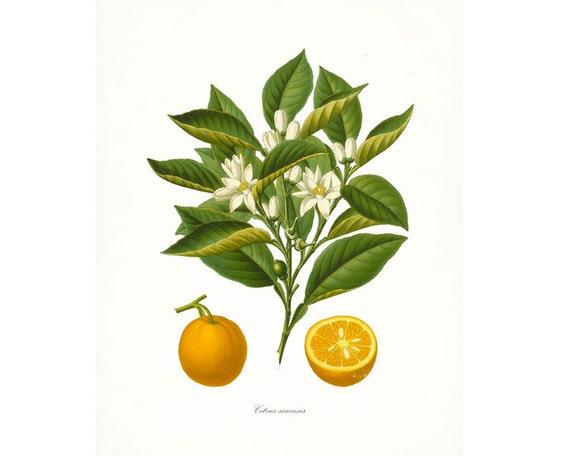 Vintage Oranges Botanical Citrus Giclee Print