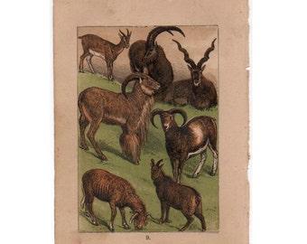 1882 goat & sheep ANTIQUE ANIMAL LITHOGRAPH original antique wild animal scene animal print - goat - ibex - aoudad - mufflon - sheep - ewe