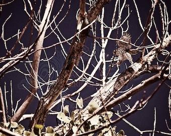 Photographic Art Print of Cooper's hawk landing in a skeleton tree