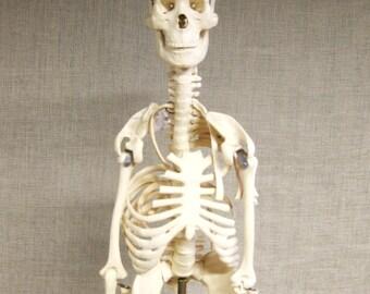 Vintage Skeleton Model, Human Anatomy, Science Model, Scale, Medical Collectible, Medical School, Halloween, Human