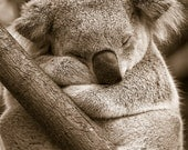 SLEEPY KOALA Photo, Sepia...