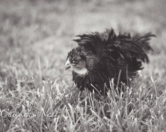 Frizzle Olive Egger Chick, Chicken, Chicken Photography, Farm Photography, Poultry, Black and White Photography, Barnyard Animals