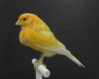 Orange Canary Real Bird Taxidermy Mount with Perch Included