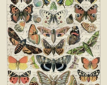 Papillons Vintage Style Natural History Antique Butterfly Print from Curious London