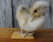 Vintage French taxidermy Chicken Chick Bird on stand figurine statue trophy circa 1960-70's / English Shop