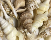 6 Medium Horse Conch Shells 2 1/4 to 3 Inches Long~Craft Ready Shells~Sea Shells~6 Medium Seashells~Rustic Seashell Decor~Beach Wedding