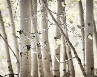Aspen Trees Photography Print 12x18 Fine Art New Mexico Rustic Woodland Bark Forest Southwest Autumn Landscape Photography Print.