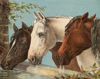 Horses drinking water vintage illustration, digital download