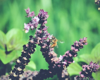 Honey Bee, Lavender, Nature Photography, Fine Art Photography, 8X10, Glossy, Matted, Floral Photography