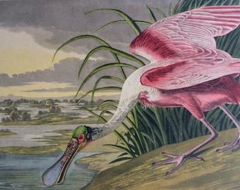 AUBODON 1949 Roseate SPOONBILL BIRD Print Avian Vintage 1940s Bookplate