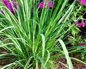 Lemongrass Plant Cymbopogon Great Lemon Scent Lemongrass Great for Patio Pots Mosquito Plant Fresh Lemon Fragrance Great Mosquito Repellent