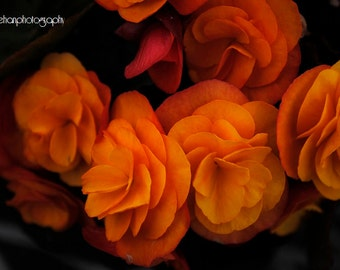 Orange Begonia Photograph