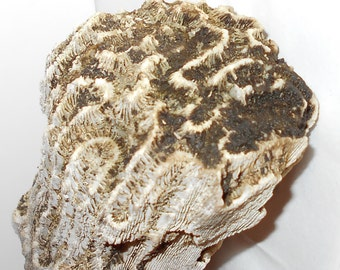Huge coral vintage Florida unbleached natural ocean find Free USA Shipping