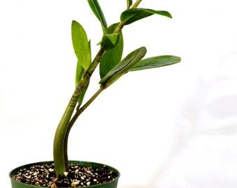 ZZ Plant - Zamioculcas Zamiifolia - 4'' Pot