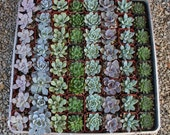 """130 ROSETTE Only Wedding Succulent collection potted in 2"""" containers collection of Beautiful WEDDING FAVOR Succulents Gifts~"""