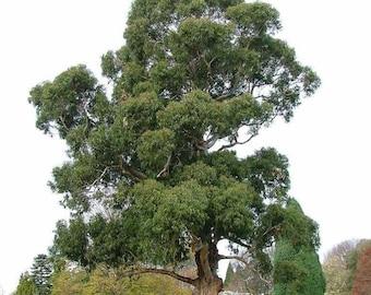 Blue Gum Tree Seeds, Eucalyptus globulus - 25 Seeds