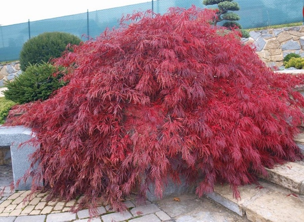 Lace leaf japanese maple seeds acer palmatum dissectum 25 Japanese maple leaf
