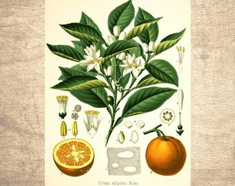 Orange Botanical Illustration - giclee print, choose your size - Botanicals, Vintage, Illustrations, Poster, Art, Decor, Botany