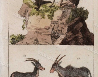 Mountain goats 1817 Antique Original Hand colored Engraving  Of Animals -  Natural history-  Tobias Wilhelm Over 200+ Years old
