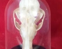 Taxidermy Grey Fox Skull in Acrylic dome display-removable--animal-animal display-skull display
