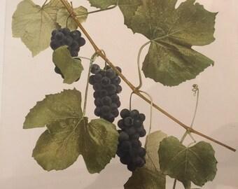 Vintage Grape Prints