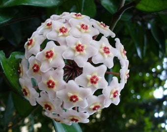 Orchid hoya white red Seeds , orchids seeds, rare orchids, code 276 , orchid collection, gardening, flower seeds