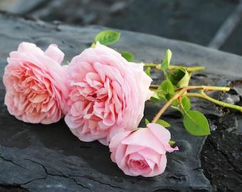 Abraham Darby Rose Seeds,373,pink rose,roses seeds, roses from seeds,planting roses,growing roses from seeds,seeds for roses