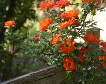 Climbing orange roses,388, orange rose,roses seeds,planting roses,growing roses from seeds