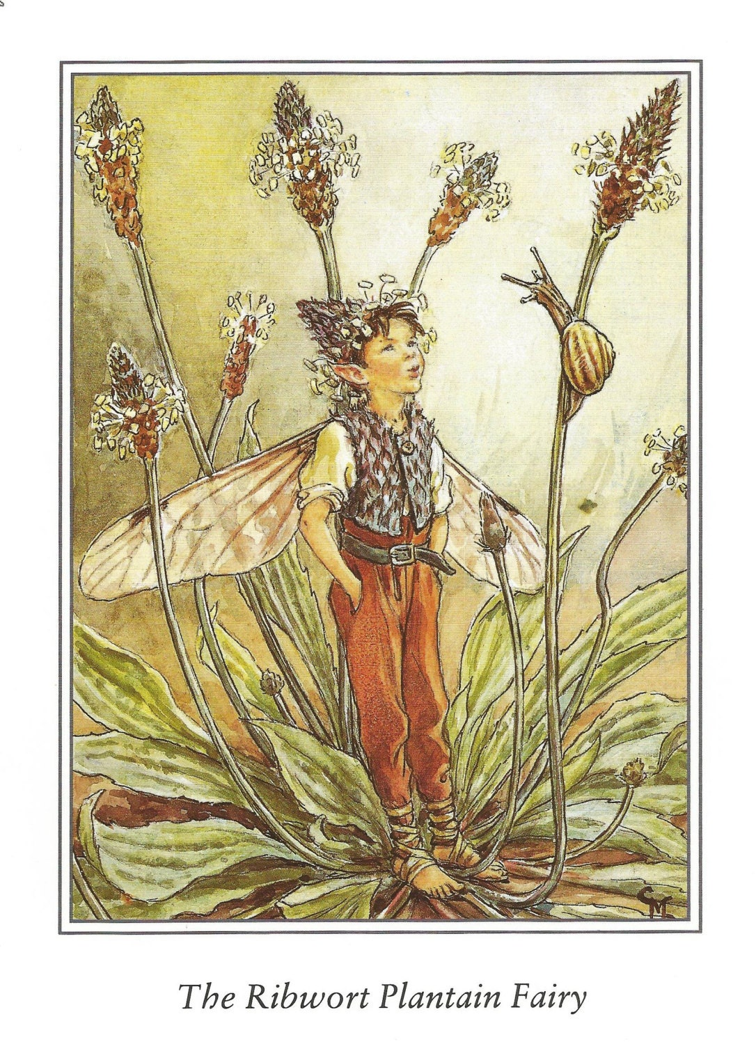 ribwort plantain fairy cicely mary barker flower fairies