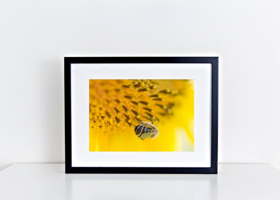 The Fluffy Bumblebee // 5x7, bumblebee, fine art print, macro photography, yellow, gold, flowers, wall art, home decor. sunflowers