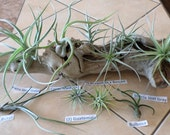 Set of ten (7 different) air plants REVISED LISTING please read description!